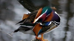 One Amazing Duck Cleaning Tail Feathers. Stock Footage