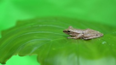 Frog on the leaf Stock Footage