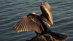 Anhinga bird holds wings out to dry, Florida, USA Stock Footage