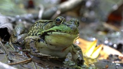 Big green water frog with huge beautiful eyes sits on a leaf, breathes and opens Stock Footage