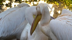 Three Rosy Pelicans Keeping Together While Opening and Closing Their Beaks. Stock Footage