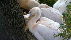 A Flock of Pink Pelicans With One Cleaning Its Feather Under Its Wing. Stock Footage