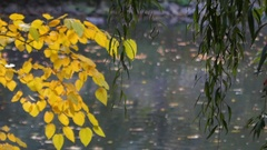 Willow Branches and a River With a Duck in the Background Stock Footage