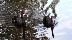 Two Black Swans Approaching in a Forest Pond in Autumn. Stock Footage