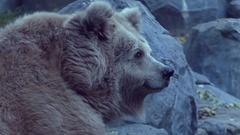 A Big Brown Bear Lying in a Zoo Against Big Grey Rocks Stock Footage