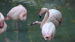 Four Beautiful Flamingos Standing in a Pond in Europe Stock Footage