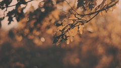 Yellow oak leaves sunset. Autumn landscape, sunny. Trees in the park Stock Footage