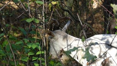 A Big White Nannygoat Eating Green Leaves From a Big Bush in Autumn Forest in Stock Footage