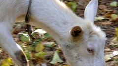A Shegoat Without Horns Grazing Grass and Moving in Autumn Forest in Slow Stock Footage