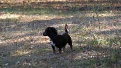 A Funny Dachshund Barking and Running in Forest in Slow Motion. Stock Footage
