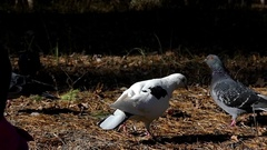 A White Dove Walking Among Dark Blue Doves in Autumn Fores in Slow Motion. Stock Footage