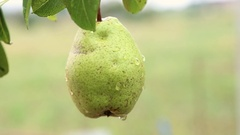 Ripe pear  on tree in the orchard  shaking on the hard wind. Ecological org.. Stock Footage