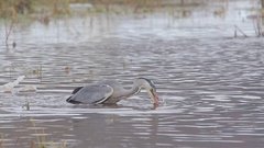 Grey Heron. Jump into the water for fish. Winter river. Stock Footage