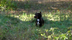 A Young Funny Dachshund Entertaining in an Autumn Forest. Stock Footage