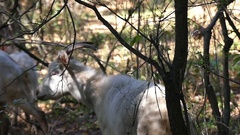 A Herd of Goats in an Autumn Forest Grazing Greenary in Slow Motion. Stock Footage