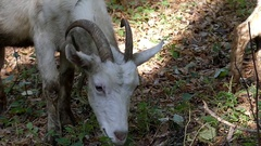 A Big White Nanny Goat Moving and Grazing Grass in an Autumn Forest in Slow Stock Footage