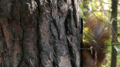 A Red and Brown Squirrel Moving Down a Tree and Eating Nuts From a Girl`s Hand. Stock Footage
