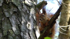 A Nice Squirrel Sitting on a Branch and Waiting For Her Nut in Autumn Forest. Stock Footage