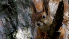 A Red and Brown Squirrel Shivering on a Branch of a Pine Tree. Stock Footage