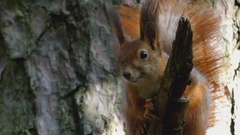 A Red and Brown Squirrel Sitting on a Branch of a Pine Tree. Stock Footage