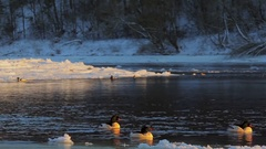 Common Merganser on winter river. Flock in evening light. Stock Footage
