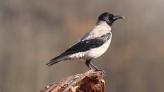 Portrait of Crow on tree Stock Footage