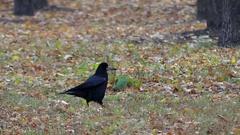Black Raven Beak Hits the Ground. Stock Footage