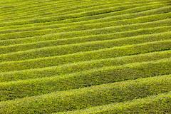 Tea plantation on Sao Miguel island, Azores, Portugal Stock Photos
