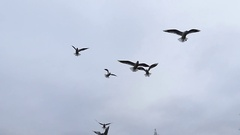 Flock of Seagull Trying Catch the Peace of Bread in the Sky During Feeding at Stock Footage
