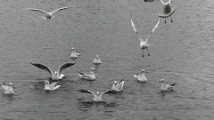A Flock of Seagulls Floating and Landing on Rippled Waters in Slow Motion. Stock Footage