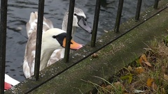 White Swans Taking Food From a Female Hand Through Metal Fence in a Zoo in Slow Stock Footage