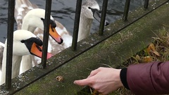 White Swans and a Girl`s Hand Trying to Feed Them Through a Metal Fence in Slow Stock Footage