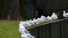 A Flock of Seagulls Flying Off From a Metal Fence One After Another in Slo-Mo. Stock Footage