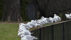 A Flock of Seagulls Sitting on a Metal Fence and Cleaning Feather With Big Stock Footage
