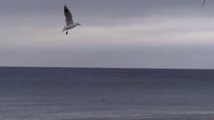 A Flock of Seagulls Soaring Over a Sea Horizon in Autumn in Slo-Mo. Stock Footage