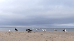 A Young Girl Running and Driving Ravens and Seagulls Away From a Sandy Seabeach Stock Footage