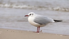A Lonely Seagull Standing on a Sandy Seabeach With a Tiding Wave in the Stock Footage