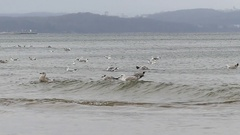 A Flock of Seagulls Floating, Diving and Flying Over Grey Rippled Waves in Stock Footage