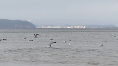 A Flock of Seagulls Floating and Taking Off in Rippled Sea Waters in Autumn in Stock Footage