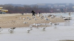 A Flock of Seagulls Standing on a Sandy Seabeach With People in the Background Stock Footage