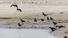 A Flock of Ravens Sitting at a Sealine and a Flock of Seagulls Sitting Nearby Stock Footage
