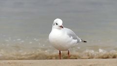 A Loanely Seagull Standing on a Sandy Seabeach With Tiding Waves in the Stock Footage