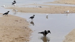 Five Ravens and a Flock of Seagulls Walking on a Sandy Beach in Autumn in Stock Footage
