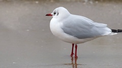 A Lonely Seagull Standing on a Sandy Beach With Strong Tiding Waves in the Stock Footage