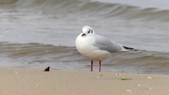 A Seagull Standing on a Sandy Beach With a Red Stone Nearby and a Tiding Foamy Stock Footage
