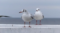 Seagulls Sitting on a White Sea Pier Fence and Looking Around in a Funny Way. Stock Footage
