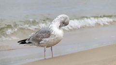 A Large White and Grey Seagull With Spotted Feather is Cleaning Itself With a Stock Footage