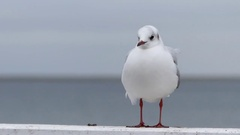 A Seagull Standing on a White Sea Pier Fence and Opening Its Beak in Autumn in Stock Footage
