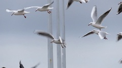 A Flock of Seagulls Flying on the Same Place and Waiting For Food From People Stock Footage