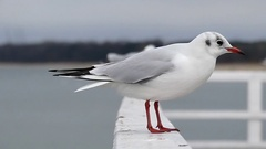 A Seagull Sitting on a White Concrete Pier and Several of Them Landing in a Stock Footage